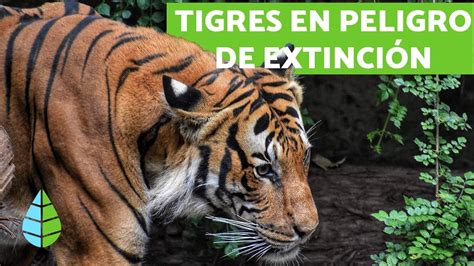 Descripcion Del Tigre En Ingles Para Niños   Actividad del ...