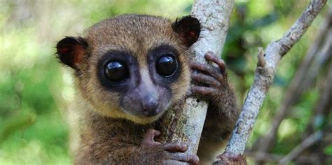 Descubierta una nueva especie de lemur enano