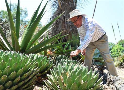 Descubren expertos 4 nuevas especies de agave en México ...