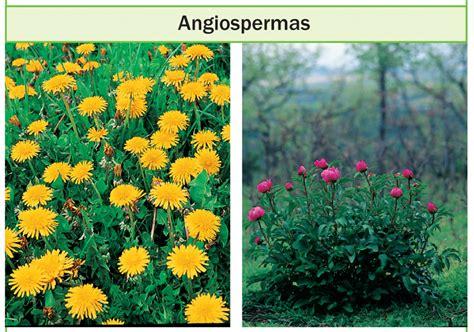 Desenvolvimento das plantas angiospermas   Brasil Blogado