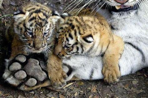 Deux Bébés Tigres à côté de la Grosse Patte de son Père ...