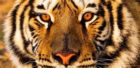 Dia del Tigre   Día Internacional del Tigre