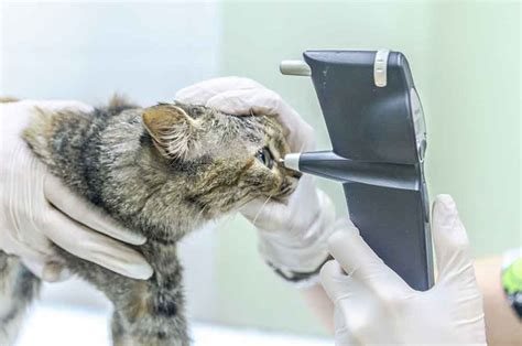 Diabetes in Cats: Causes   Symptoms   Treatment | Pets Feed