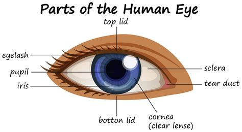 Diagram showing parts of human eye   Download Free Vectors ...