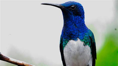 Diario Occidente   ave azul