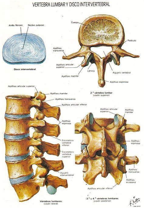 Dibujo_columna_vertebral_huesos | Columnas, Columna ...