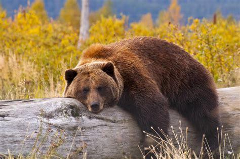 Diferencias entre el oso pardo y el grizzly — Mis animales