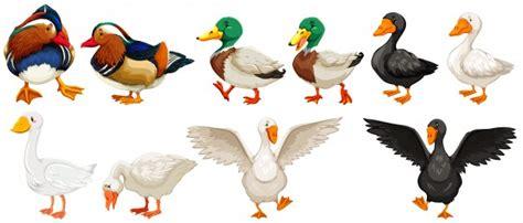 Diferentes tipos de patos y ganso ilustración | Descargar ...