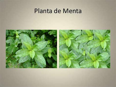 Diferentes tipos de plantas aromaticas