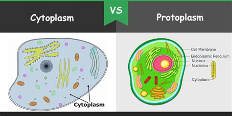 Difference Between Cytoplasm And Protoplasm | Core Differences