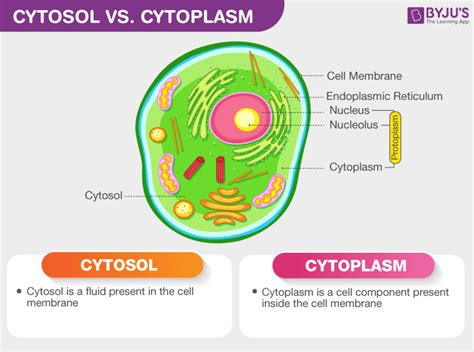 Difference Between Cytosol and Cytoplasm   An Overview
