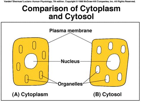 Difference between Cytosol and Cytoplasm   The Student Room