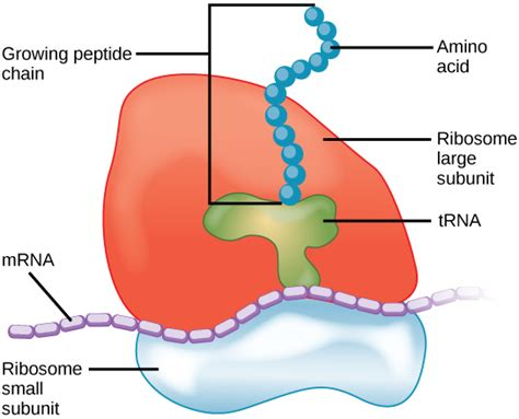 Difference Between Lysosome and Ribosome | Structure ...