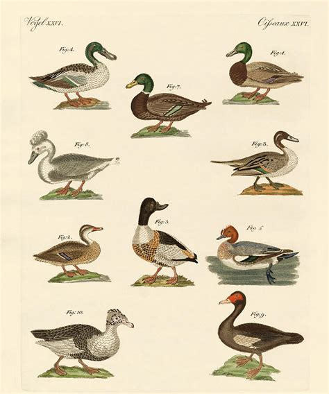 Different Kinds Of Ducks Drawing by Splendid Art Prints