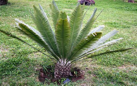 Dioon edule. Palma cica. Plantas Ornamentales, Jardinería ...