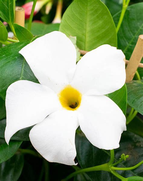 Dipladenia Arbustiva   Endanea Garden   Comprar Plantas de ...