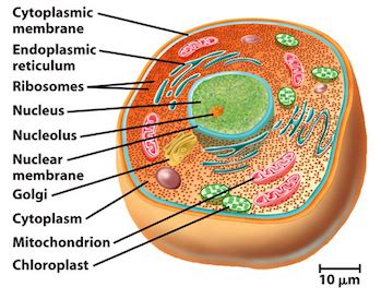 Do Eukaryotic Cells Have a Nucleus?   Video & Lesson ...