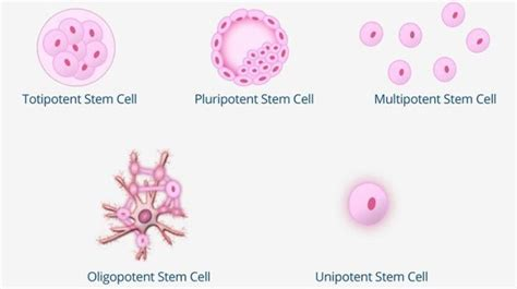 Do You Know the 5 Types of Stem Cells? | BioInformant