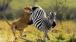 Documental de Leones Cazando Animales Cebras ...