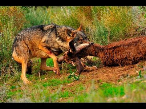 Documental Rusia Tierra de animales salvajes Documentales ...