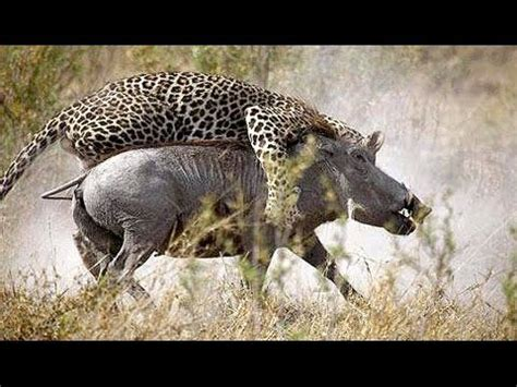 Documentales de Animales Guepardos Salvajes   National ...