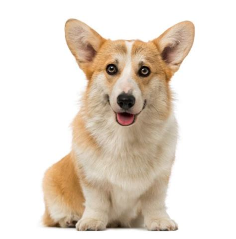 Dog Pembroke Welsh Corgi: traits and pictures