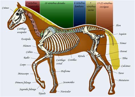 Doma clásica y caballos.: La columna vertebral del caballo.