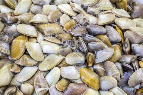 Donax trunculus, una specie commestibili di mollusco di ...