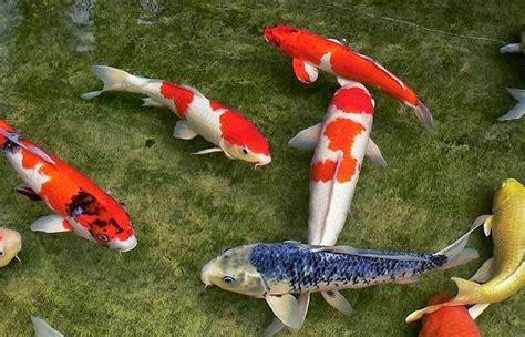 Donde comprar peces   Koi  en madrid