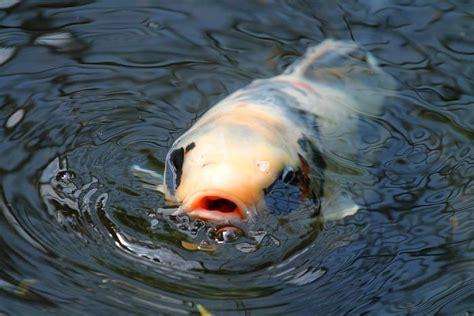 ¿ Donde comprar peces Koi y sus mejores precios? | deKois ...