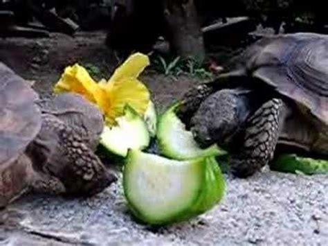 Dos tortugas de tierra comen zapallitos   YouTube