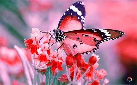 Download Butterfly Wallpaper UHD Quality Desktop Wallpaper ...