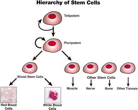 Dr. Vaclaw on BlogTalkRadio discussing stem cell therapy ...