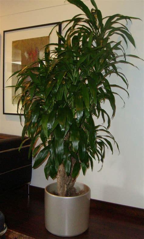 Dracaena   Plantas de follaje verde  Plantas de Interior ...