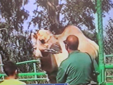 Dromedario en el hoy cerrado Safari Park, EL VERGEL  Alicante