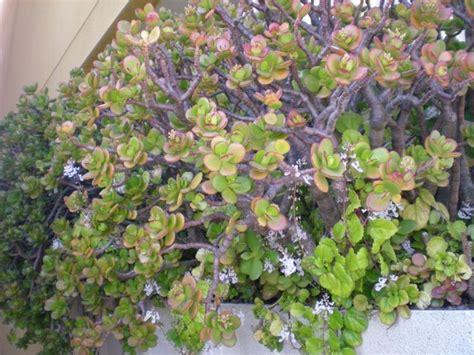 dscn4476 | Árbol de jade, Plantas de exterior, Plantas jardin