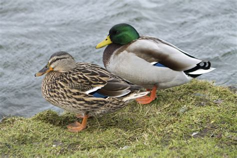 Duck Identification Guide: All the Types of Ducks With ...
