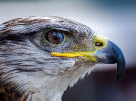 Eagle Head Bloody Eye White And Brown Feather 4k Wallpaper ...