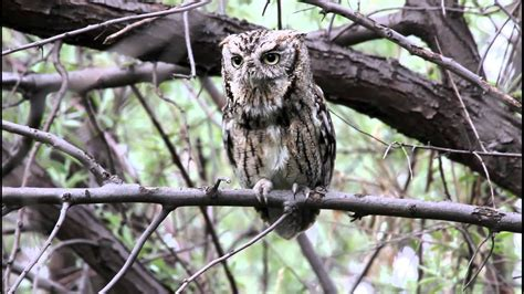 Eastern Screech Owl Calling   YouTube
