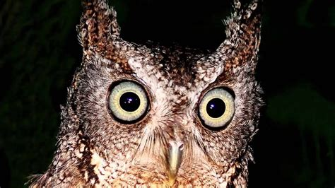 Eastern Screech Owl sound   call common sounds are an even ...