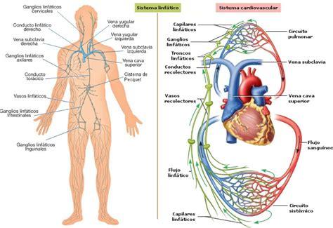 Efectos del masaje sobre los sistemas circulatorio y ...