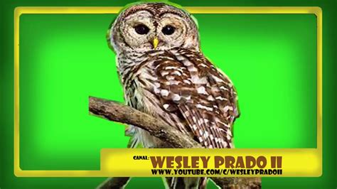 efeito sonoro de coruja   owl hoot sound effect   YouTube