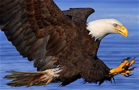 Ejemplos de aves rapaces   Modelos, muestras y características