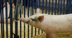 El agua en la alimentación del ganado porcino