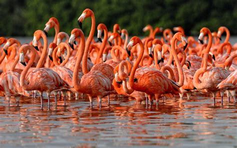 El anillamiento del flamenco rosa del Caribe mexicano ...