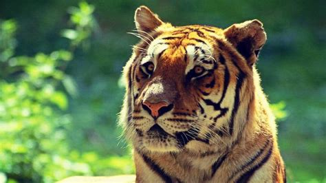 El Año del Tigre es para hacer dinero, no para casarse
