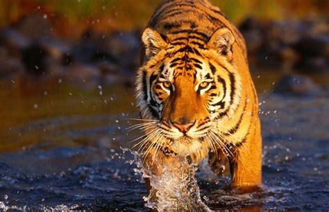 El año del tigre   Especie críticamente amenazada