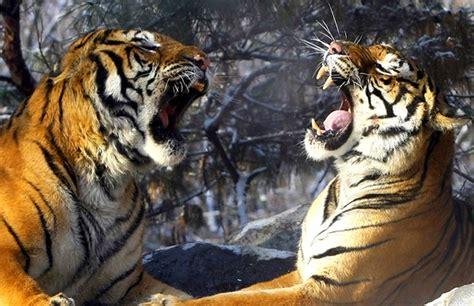 El año del tigre   Protección para todos