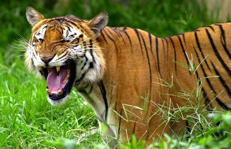 El año del tigre   Salvar a Panthera tigris