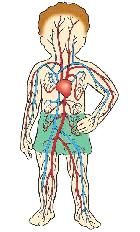 El aparato circulatorio  Esperanza